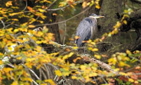 A great blue heron looks out over the Quinebaug River.