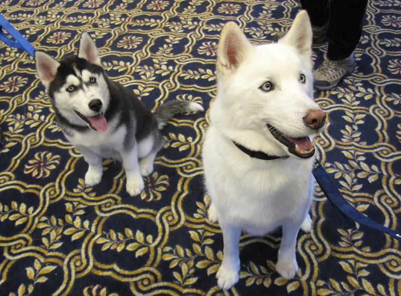 The University of Connecticut's new mascot, Jonathan XIV, left, a Siberian Husky, sits next to his predecessor, Jonathan XIII, after being introduced at a UConn Board of Trustees meeting on Wednesday, Jan. 29, 2014, in Storrs, Conn.