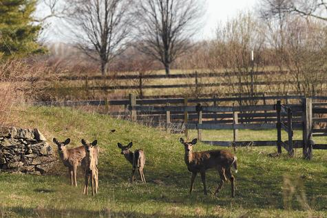 Deer keep a lookout Wednesday in the barnyard near the horse barn at Camp Harkness in Waterford.