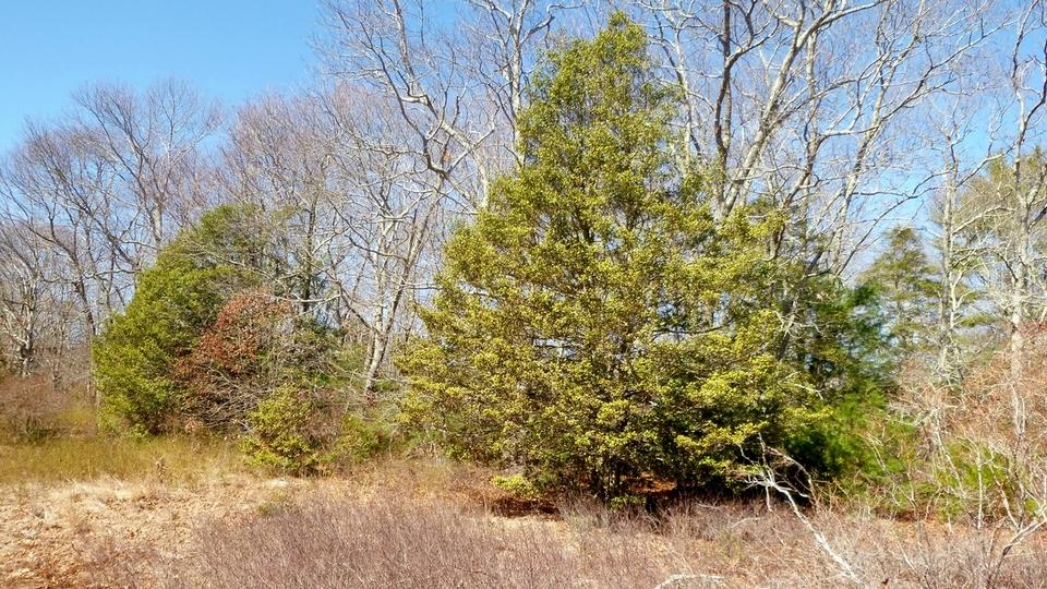American holly trees grow throughout Great Swamp and are some of the largest found in New England. This evergreen is more prevalent in the mid-Atlantic and southern East Coast. (Photo by Judy Benson)