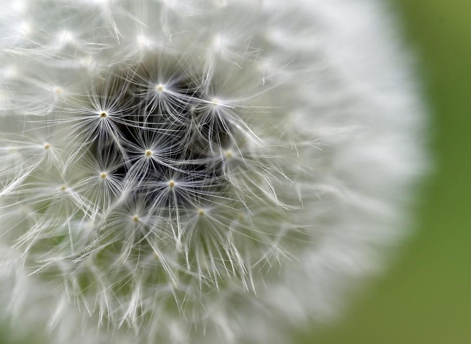 A close-up of a dandelion along a trail in the Morgan Chaney Preserve in Montville. (Tim Martin/The Day)
