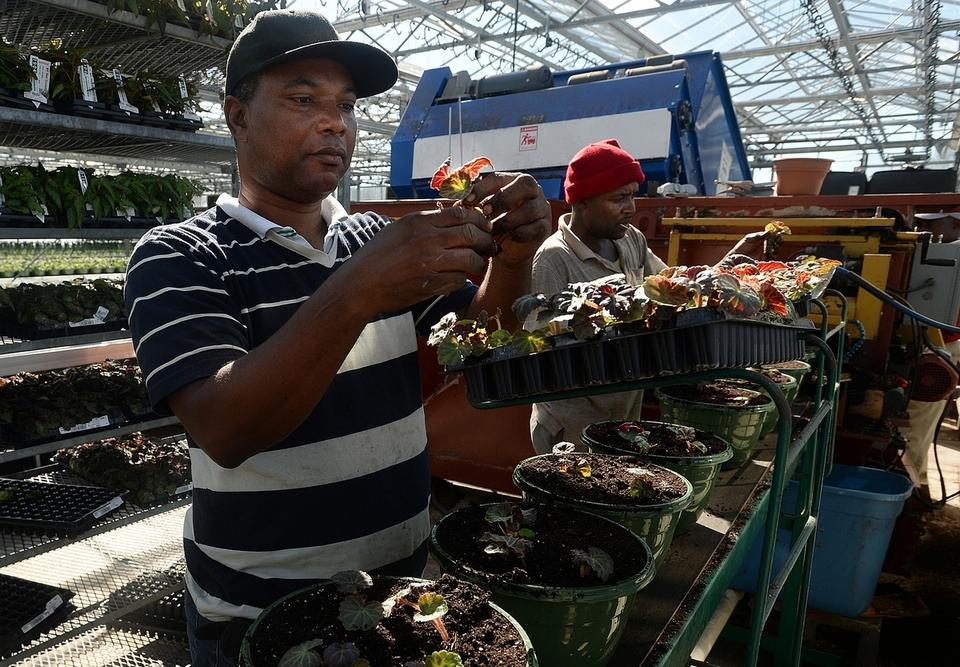 Employees Warrington Mclean, left, and Lloyd Grant remove tuberous begonia plugs from trays and plant them in pots as they move down a conveyor belt in one of the greenhouses at Hart's Greenhouse & Florist in Preston, Tuesday, March 6, 2018.  Hart's started planting pansies the second week of January and the first of three crops of spring plants the last week of January.  The third crop of spring will be finished planting by early April and they will begin planting the summer crops.  Planting multiple crops provides plants in different stages for the seasons and a continuous supply through the summer.  (Dana Jensen/The Day)