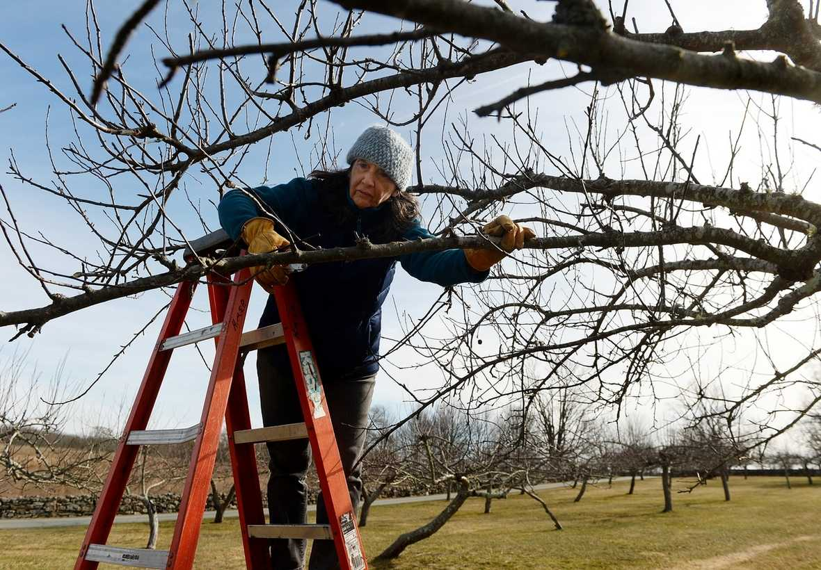 Friends of Harkness horticulture volunteer Penny Howell Heller, of Niantic, prunes a tree Wednesday, Feb. 12, 2020 while she and her fellow volunteers, not shown, work together pruning the trees in the apple orchard at Harkness Memorial State Park in Waterford.  John Suher, not shown, the horticulture volunteer chairman and coordinator, said there are approximately 40 apple trees in the orchard that were planted in the mid 1990's and this year they plan on buying 20 trees to add to the orchard.  Suher also said that the Connecticut College Arboretum is will be creating a map of the orchard showing the unusual varieties of apples now in place and will help select the varieties for the new trees.  (Dana Jensen/The Day)