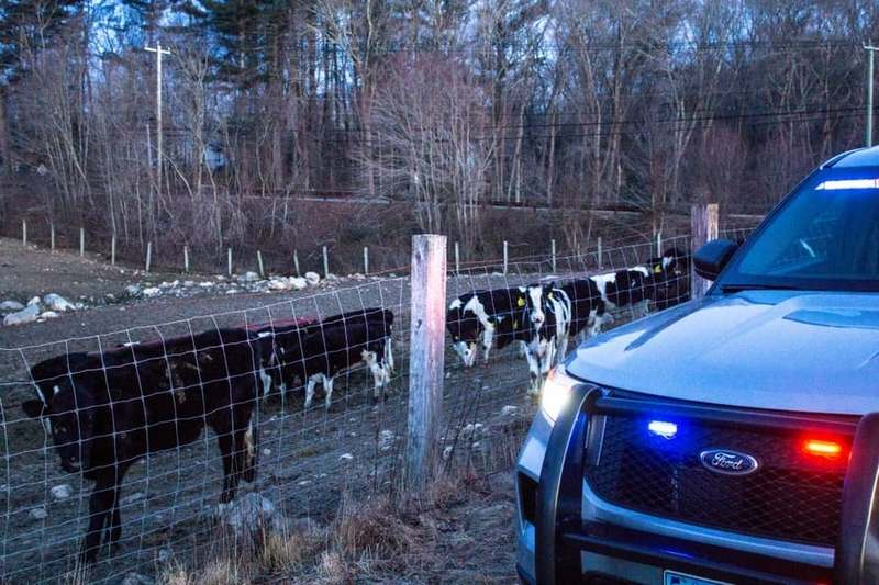Drivers heading to work on Route 184 in North Stonington early Friday morning, Feb. 21, 2020, found the road blocked, not by traffic but by a herd of cows. The bovines were safely returned to their home, Beriah Lewis Farm on Boombridge Road in Westerly. (Courtesy of Connecticut State Police)