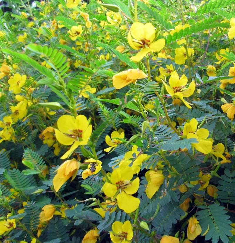 """Partridge pea is dubbed a """"pollinator powerhouse"""" by the Native Plant Trust in Framingham, Mass. (photo by Kathy Connolly)"""
