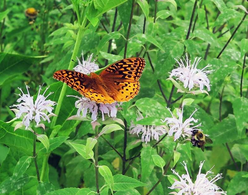 The great spangled fritillary butterfly nectars on wild bergamot and many other flowers. The fritillary caterpillar, however, depends upon the presence of native violets. (photo by Kathy Connolly)